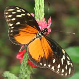 Orange Spring Butterfly